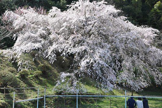 天神山のしだれ桜.jpg