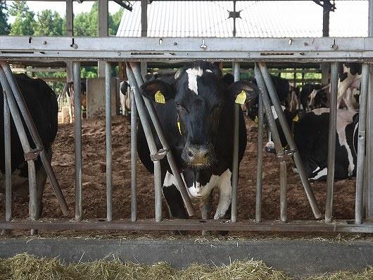 日田の牛さん.jpg