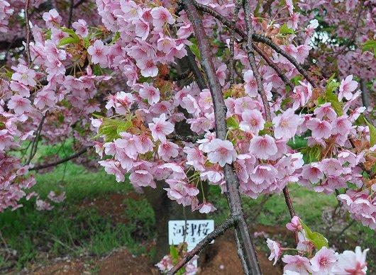 静豊園の河津桜.jpg